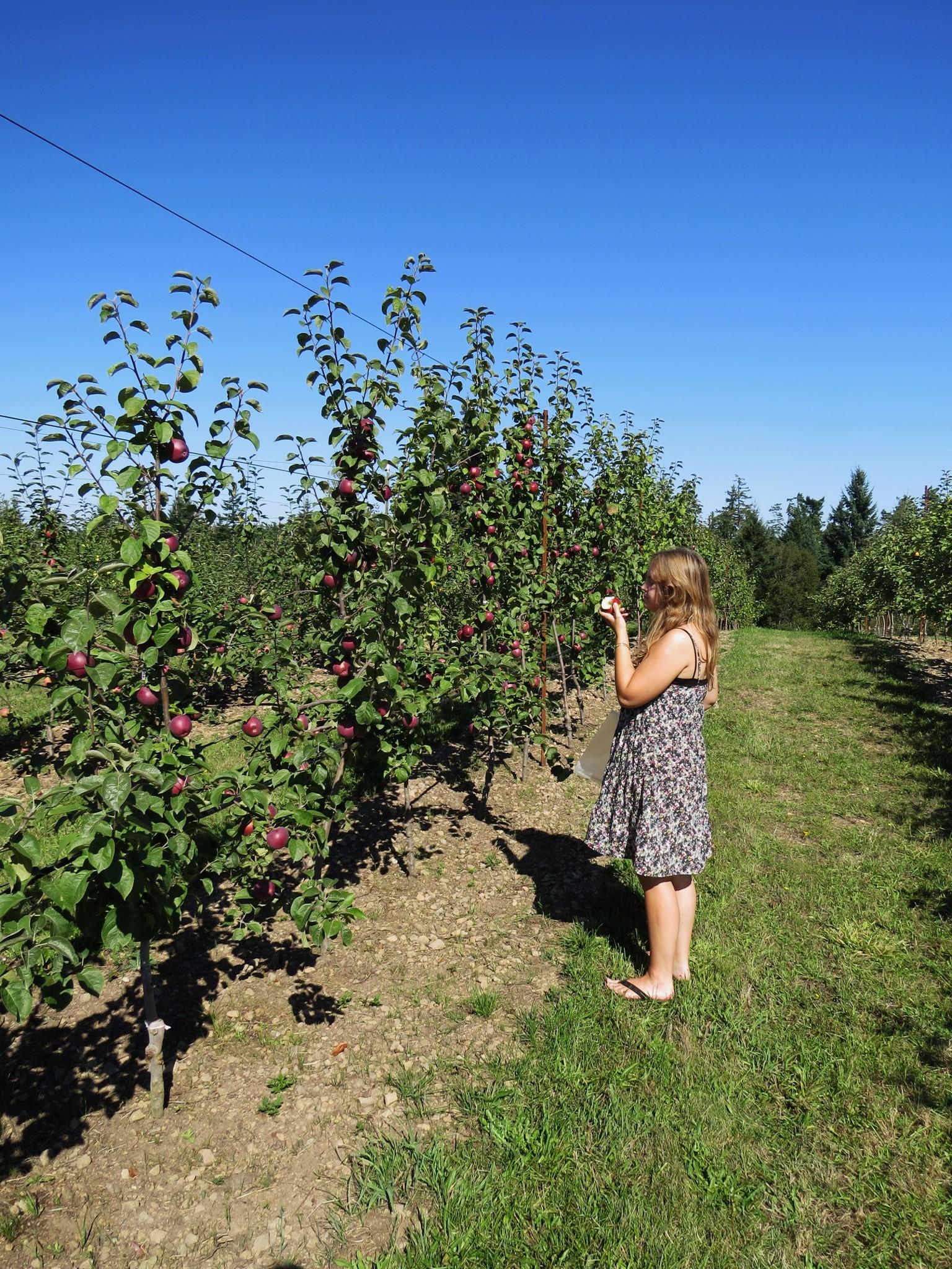 Picking apples on Gabriola Island