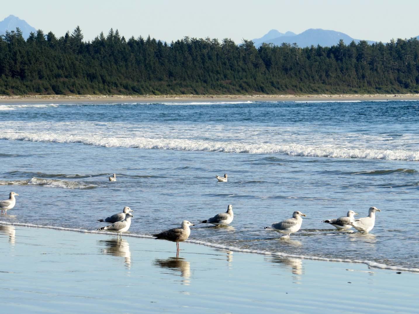 Birds on the beach in Tofino