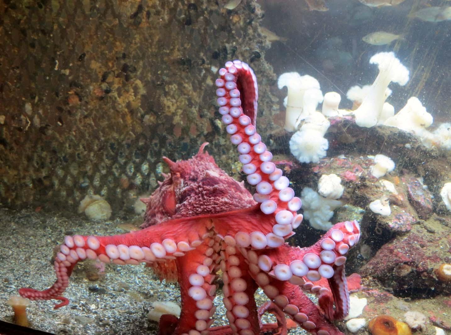 Octopus at Ucluelet Aquarium