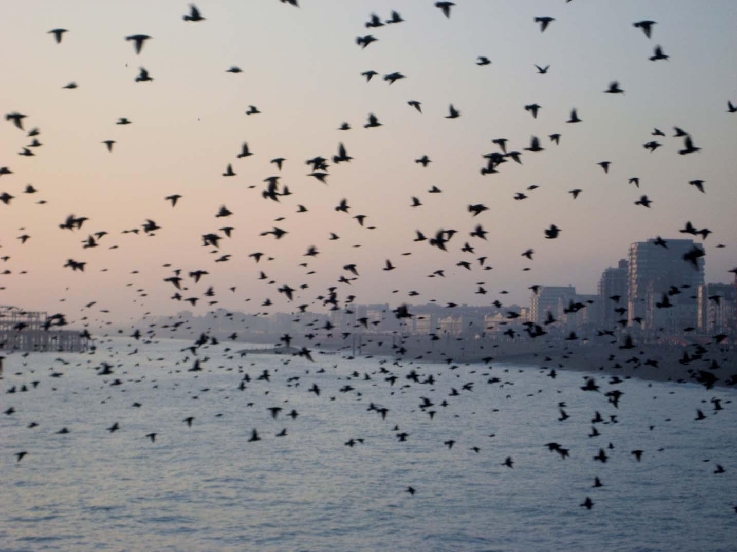 Brighton Pier starlings