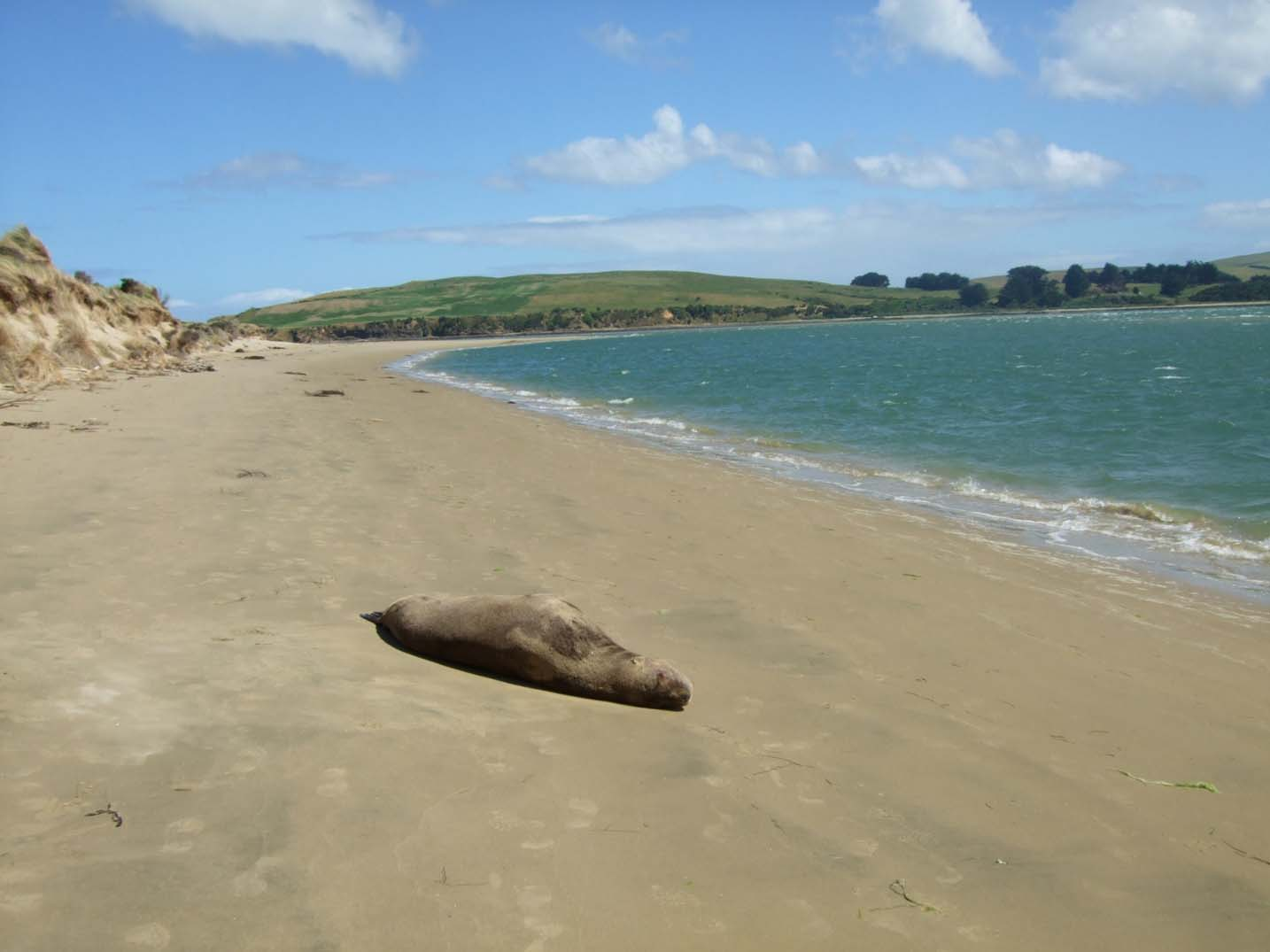 Sandy beach with seal lying close to the camera