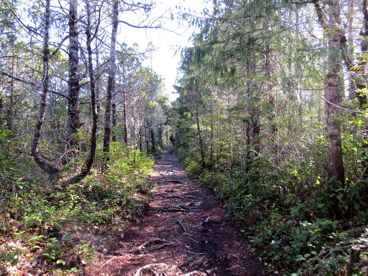Rooty trail leading through forest