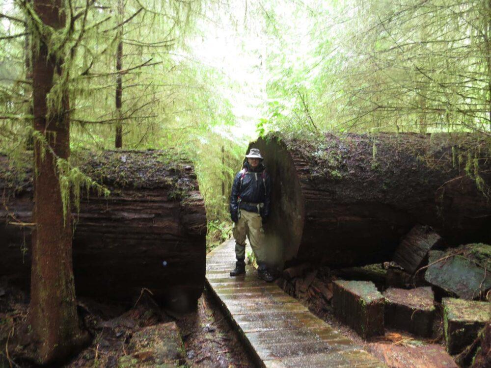 Carmanah Walbran Provincial Park - huge tree in path