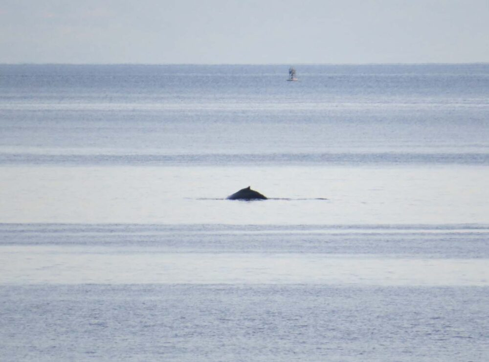 Whales from dinner rock
