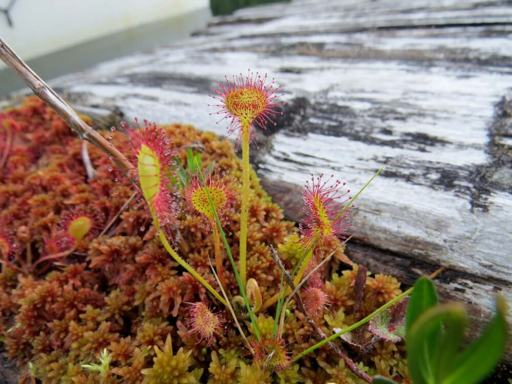 Carnivorous plants on the powell forest canoe route