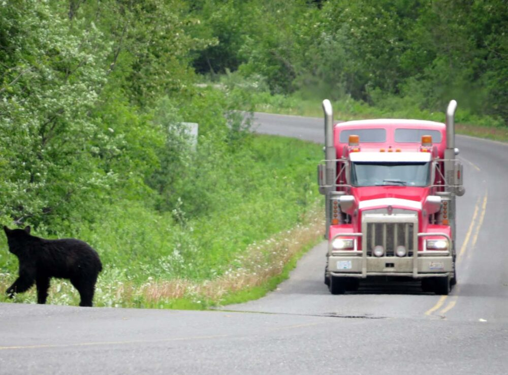 Bear next to highway with approaching truck in BC