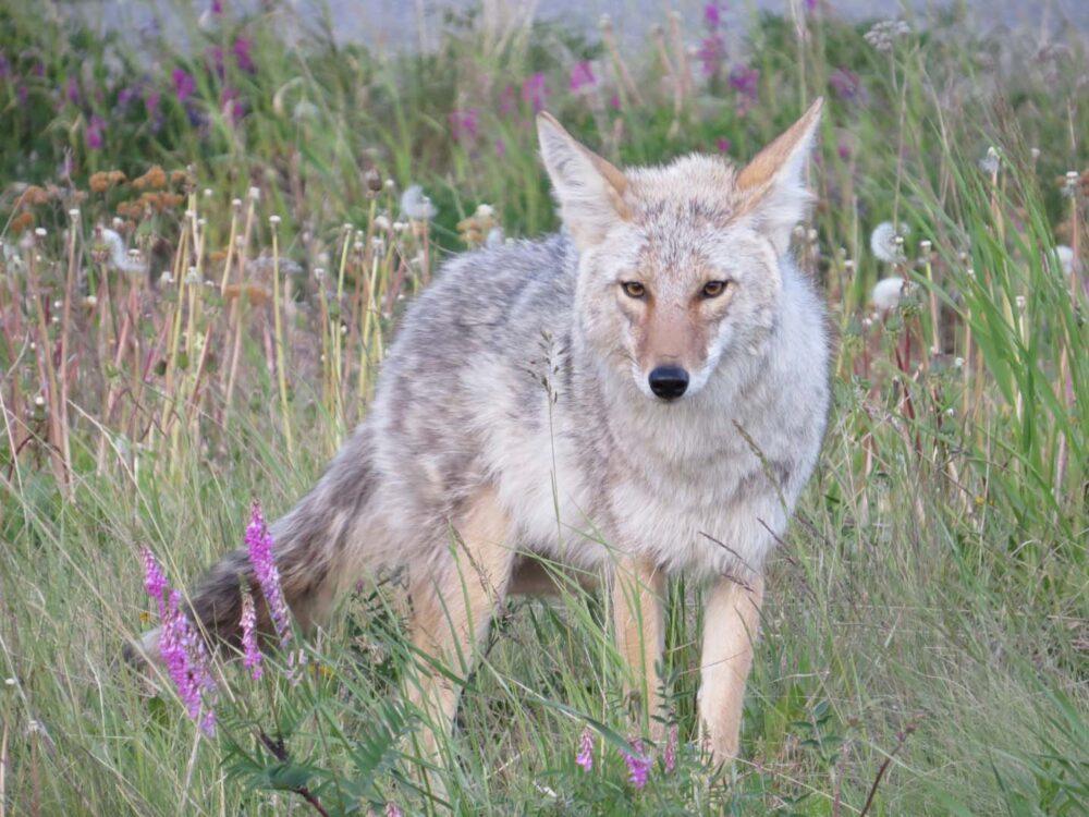 Coyote at Five Finger Rapids