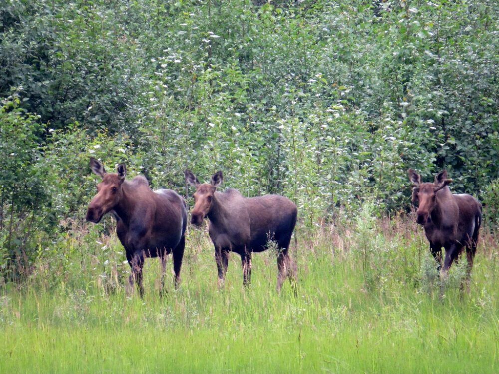 Three moose walking towards camera