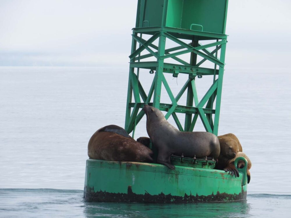 Sea lions lying on a floating green buoy in Prince William Sound, Alaska