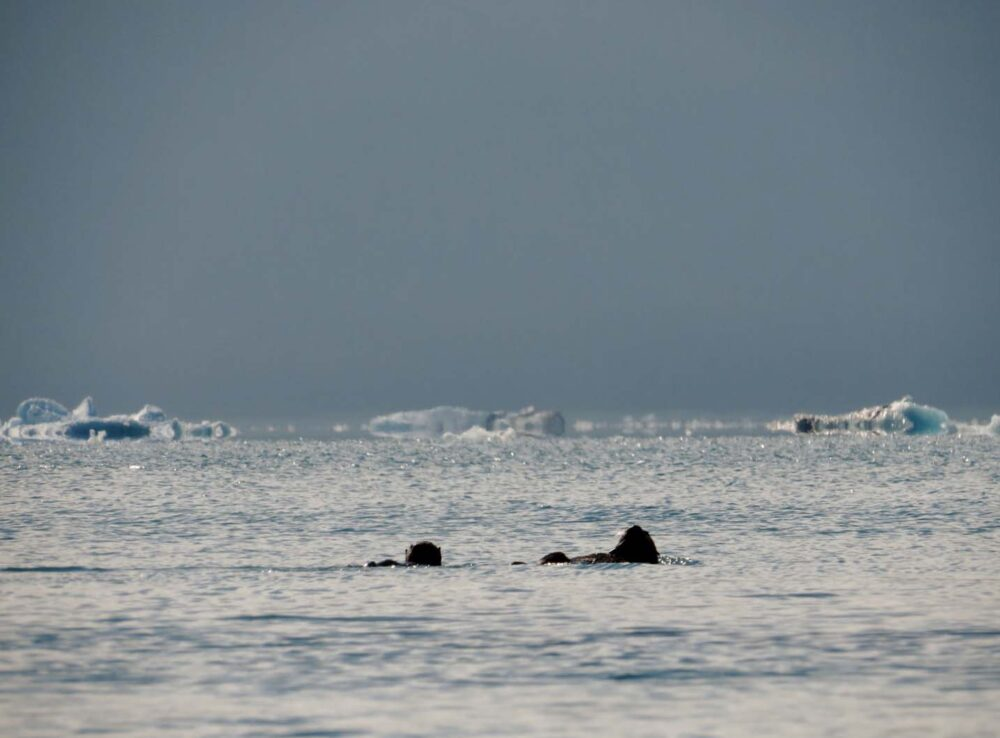 Sea otters swimming in Columbia Bay