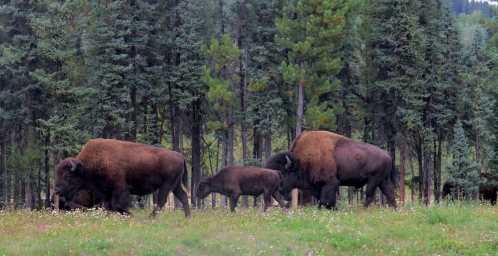 Spotting bison from the Alaska Highway in British Columbia