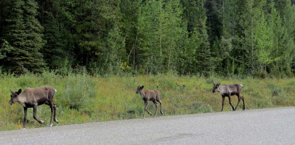 Three caribou running along the Alaska Highway, British Columbia
