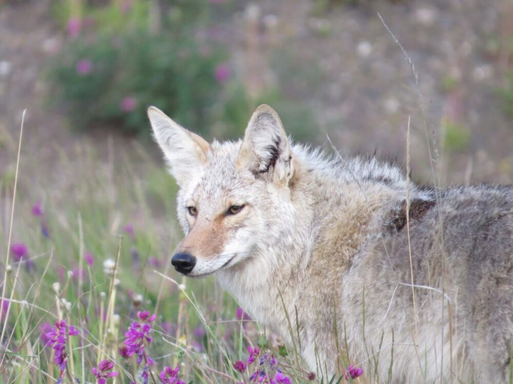 Close up of a coyote surrounded by purple flowers