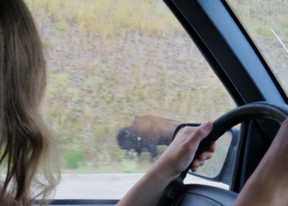 Looking for Bison Alaska Highway