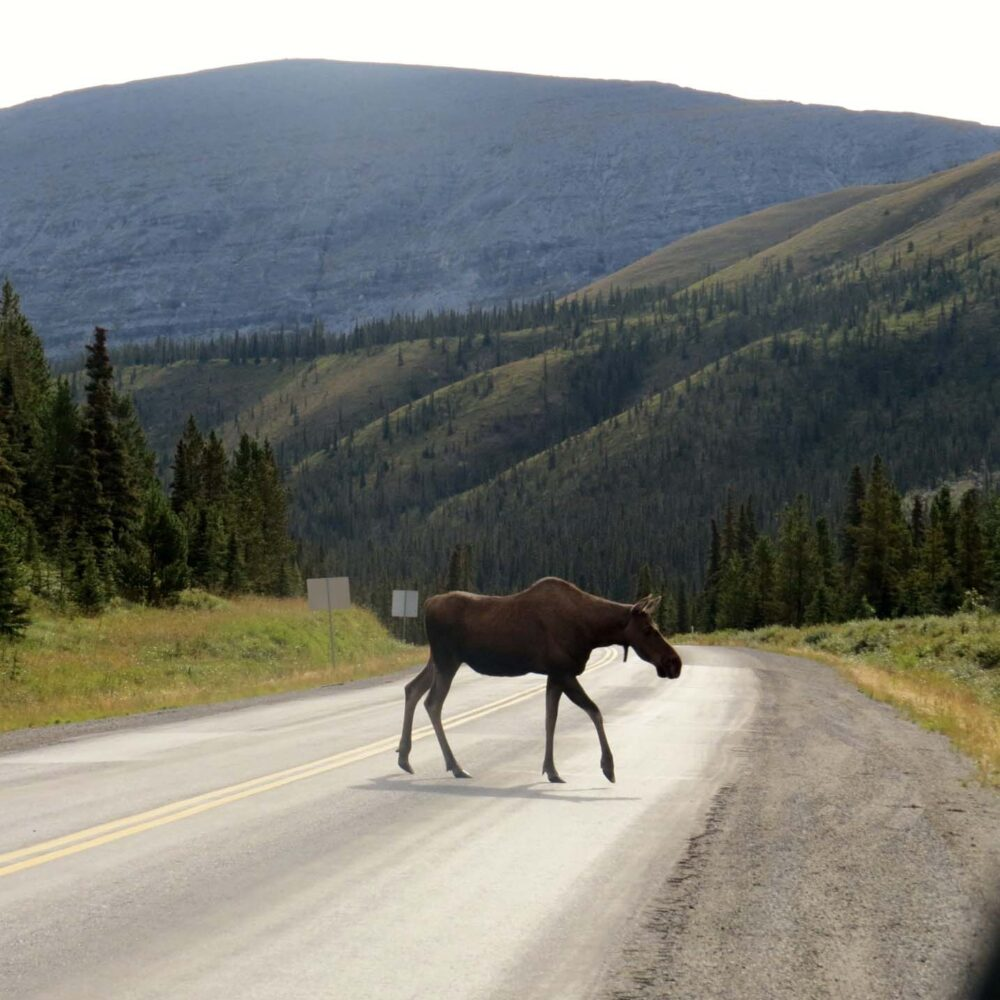 Moose crossing the ALaska Highway