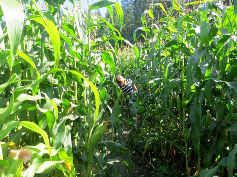 Corn maze near Quesnel