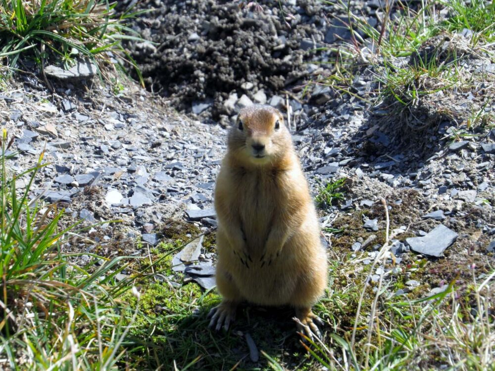 Ground Squirrel in Tombstone Territorial Park