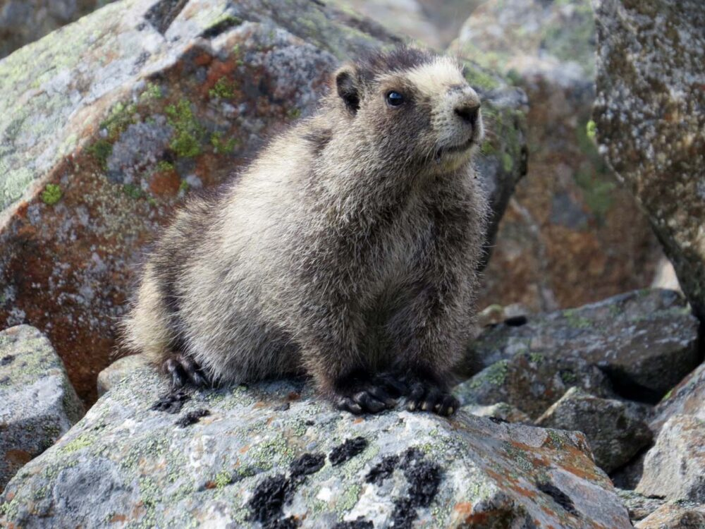 Marmot perched on a rock, Tombstone Territorial Park