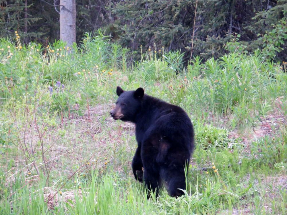 Black bear turning towards camera