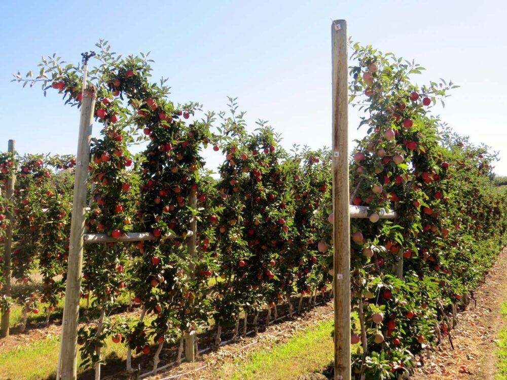 Rows of apples growing in Kelowna