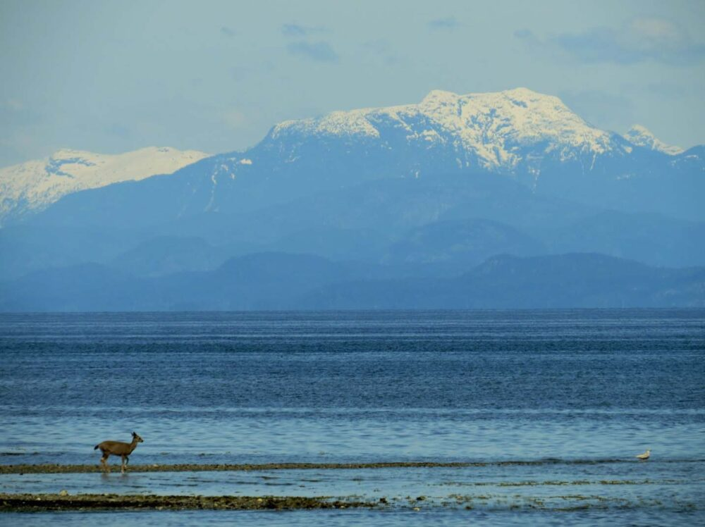 A deer standing in front of a mountainous background, as seen from Rathtrevor Beach