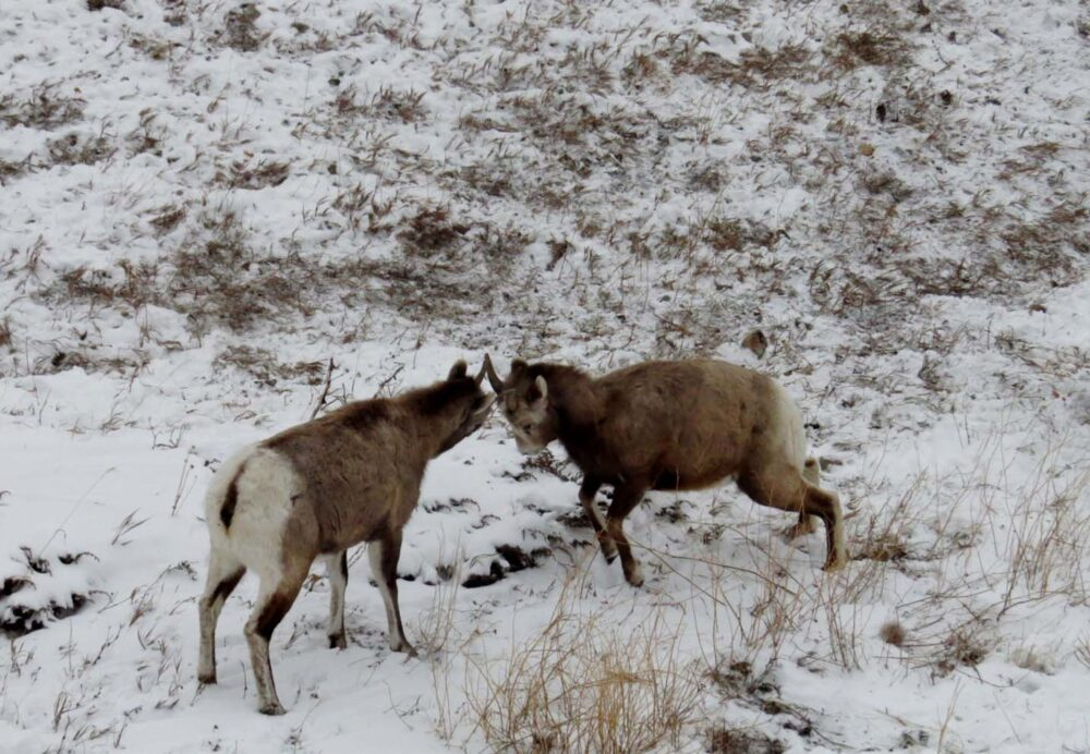 big horn sheep alberta highway 11