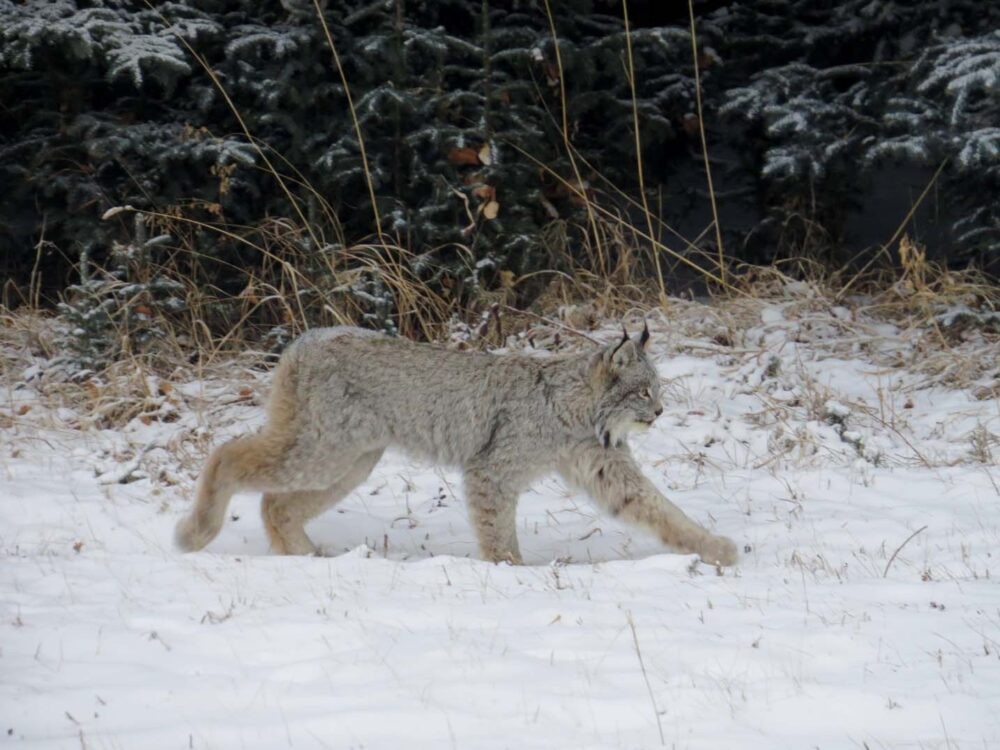 65 Things to do in Canada in winter - Lynx in Alberta, Canada