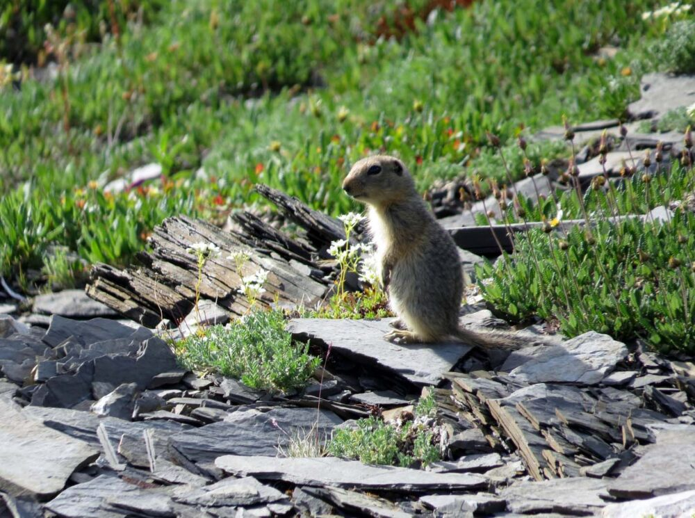 Ground squirrel perched on rocks