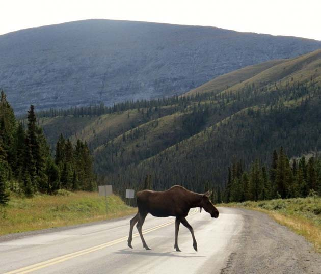 moose alaska highway