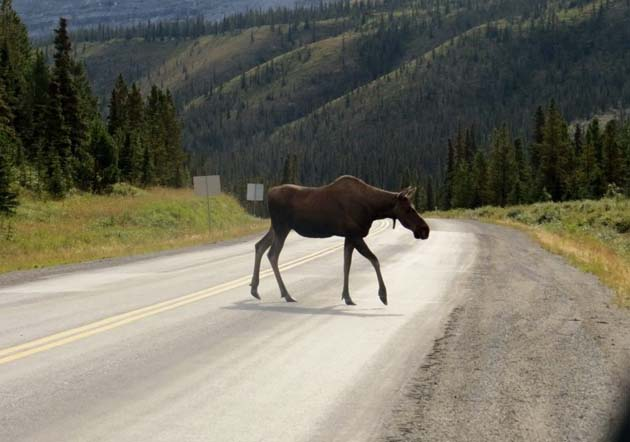 50 Things I've Learned About Canada in 5 Years - Moose crossing Alaska Highway in BC