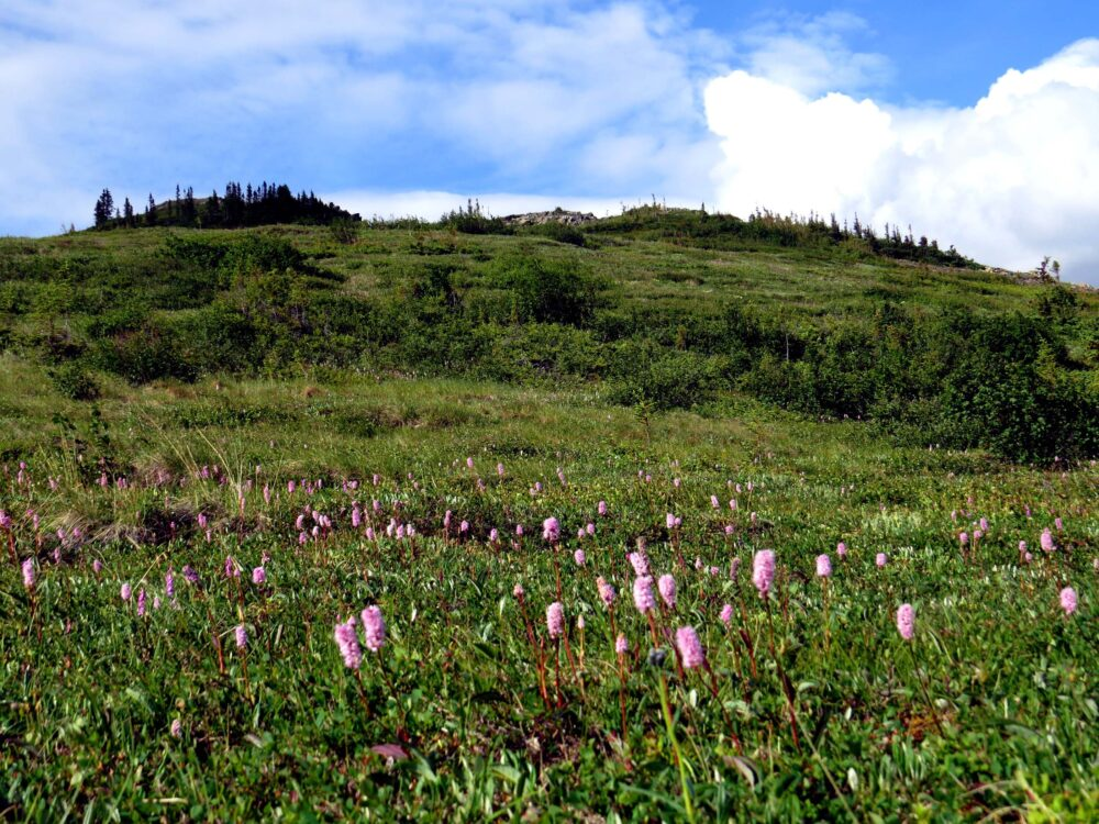 pink wildflowers dempster highway yukon