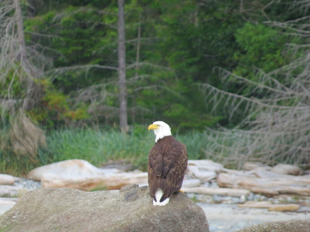 5 great reasons why you should visit Vancouver Island, Canada - bald eagle cortes island