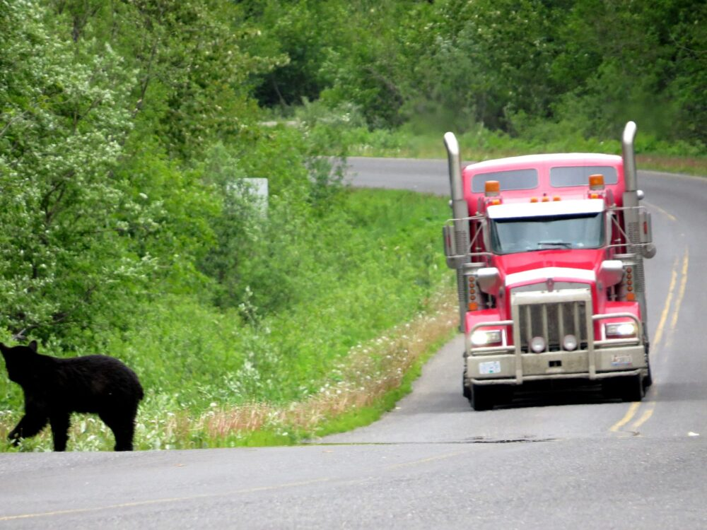 Essential Items for a Road Trip in Yukon Territory, Canada - Bear on highway