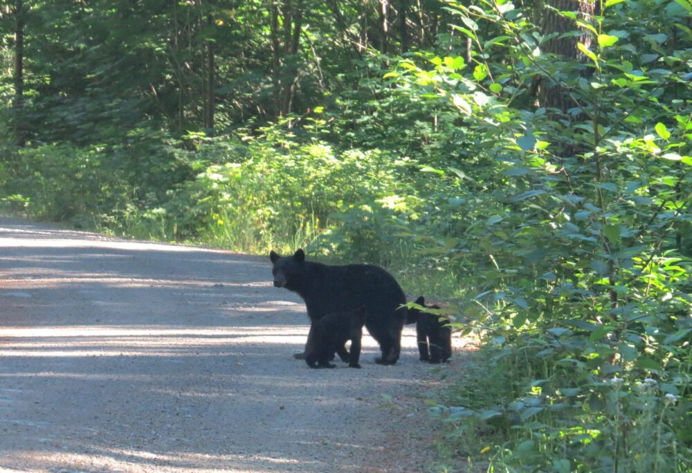 black bear alberni valle