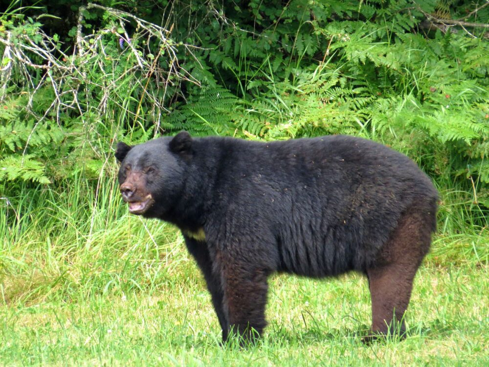 black bear courtenay