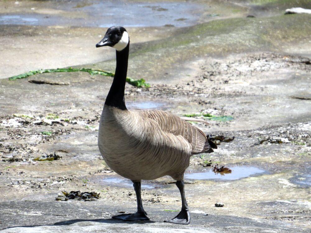 canada goose nanaimo newcastle island