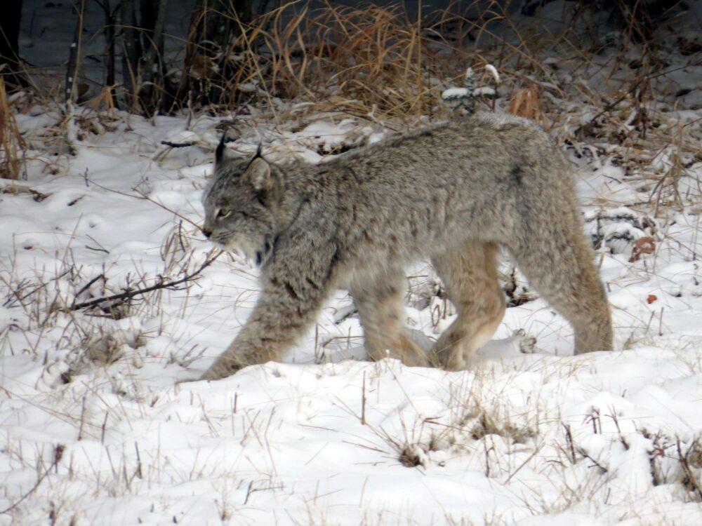 A Lynx paws through the snow in Alberta, Canada