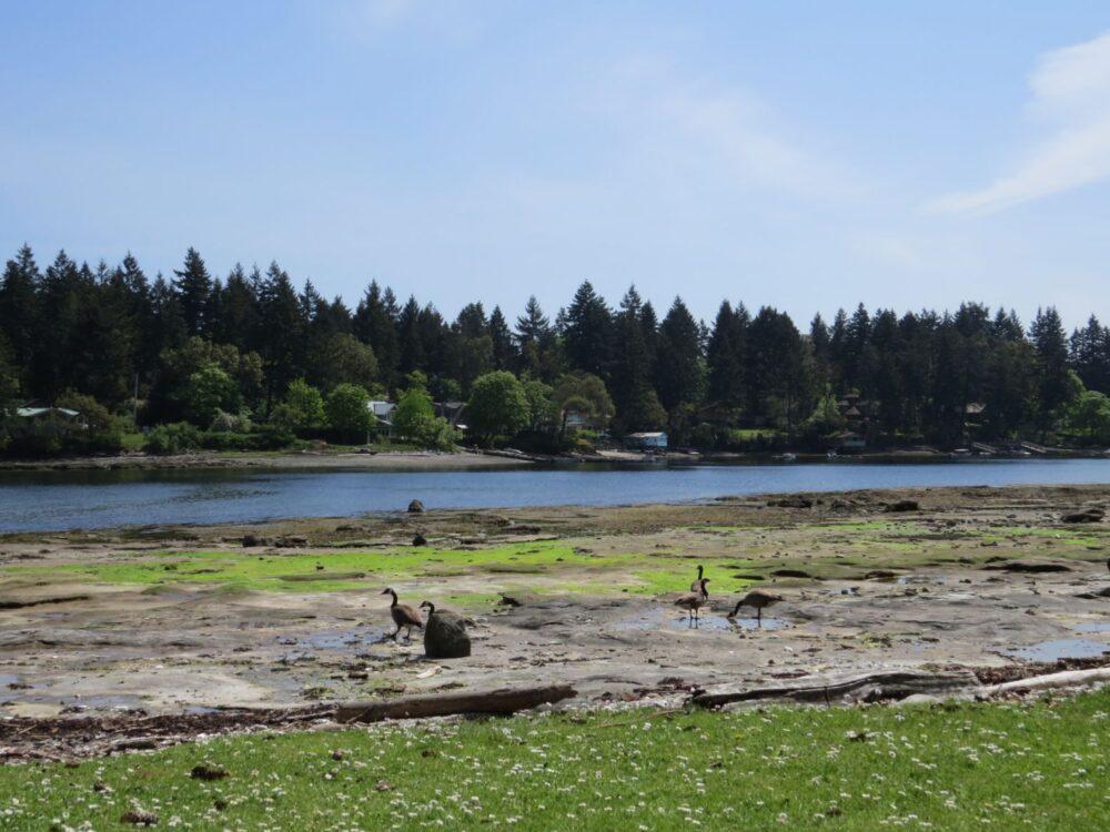 Canada goose walking near ocean on Newcastle Island