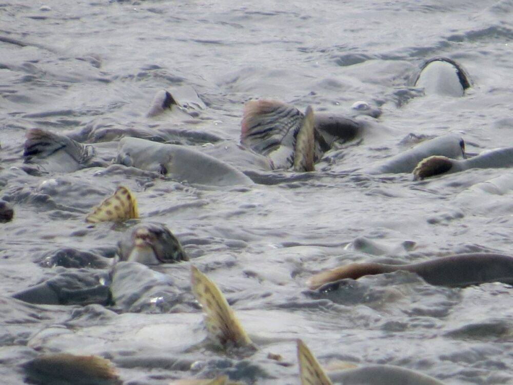 Salmon spawning in Valdez