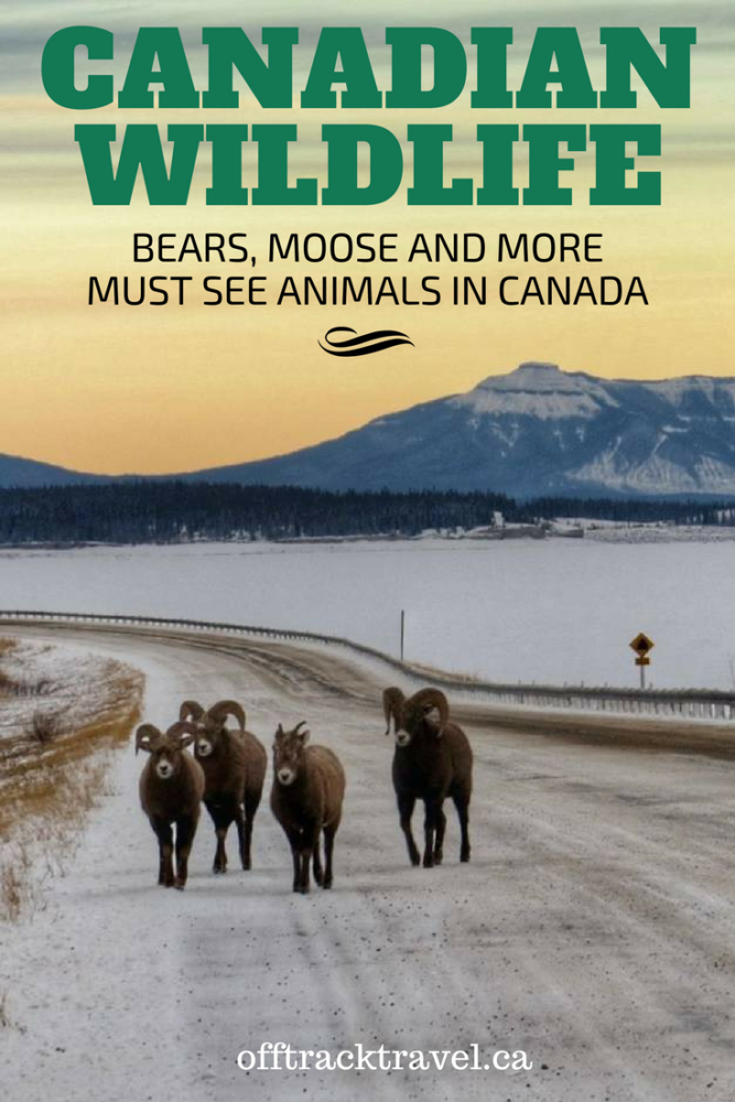 Canadian Wildlife - Bears, moose and more must see animals in Canada. Our best photos from years of exploring Canada and its beautiful wilderness! - offtracktravel.ca