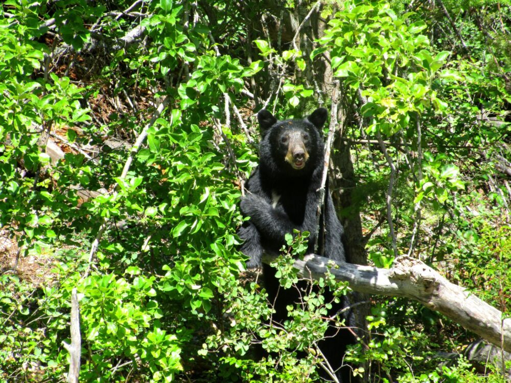 Black bear sitting in tree