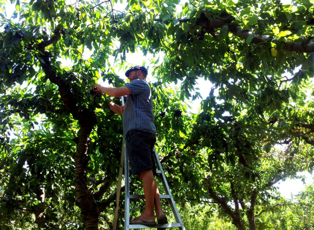 fruit picking oliver summer okanagan