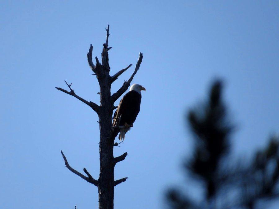 bald eagle desolation sound