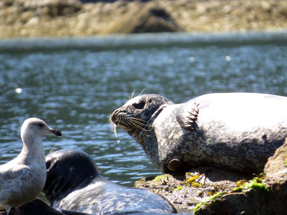 Seals and seagull in Desolation Sound, BC