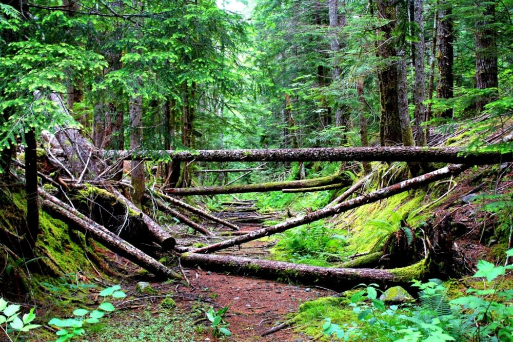 Vancouver Island rainforest with downed trees