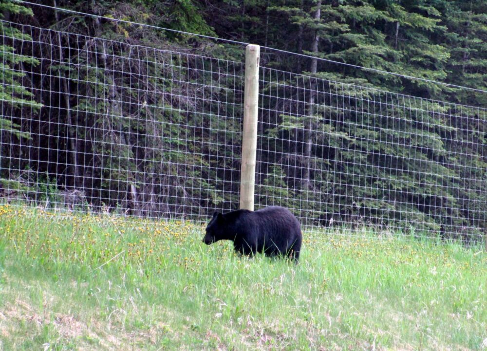 black bear kootenay national park