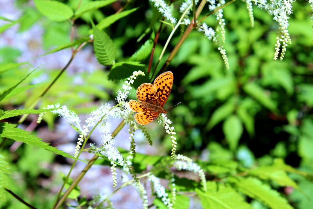 Butterfly resting on flowers on the Della Falls trail