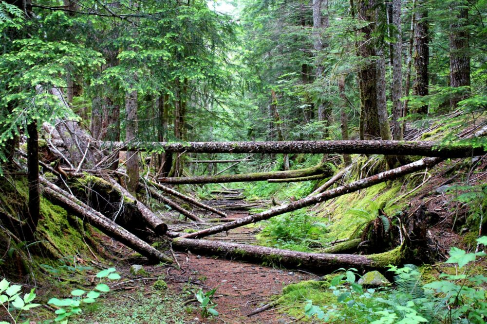 Uprooted trees in the forest of Strathcona Provincial Park, Vancouver Island