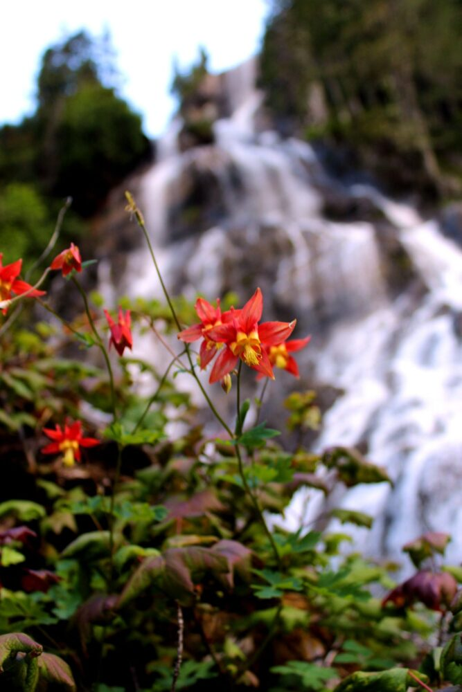 Wildflowers in front of Della Falls, cascading water behind