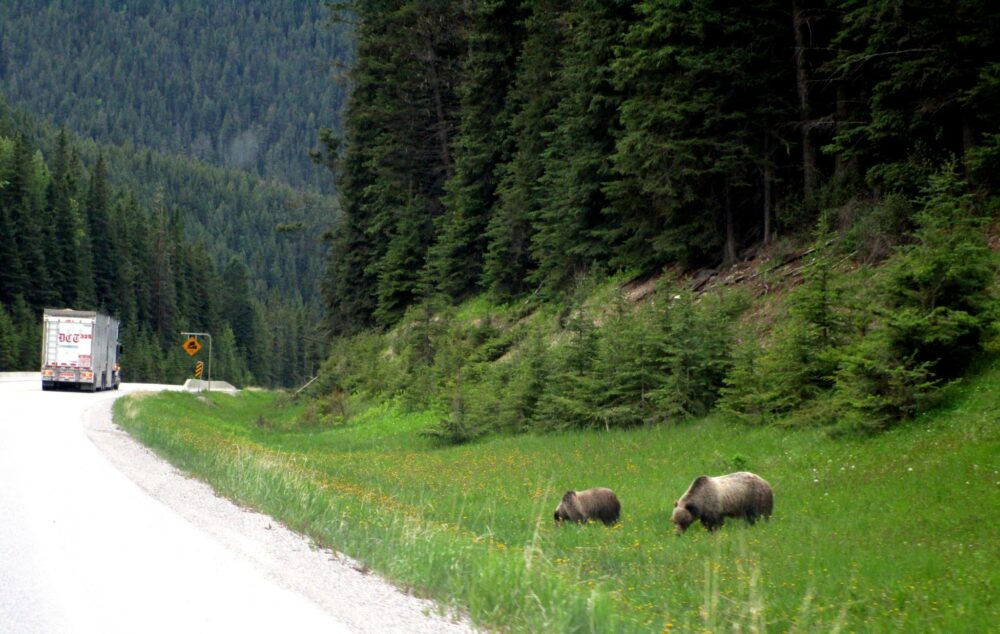 Grizzly Bears eating grass by the side of the road in Kootenay National Park on vancouver to calgary road trip alternative route